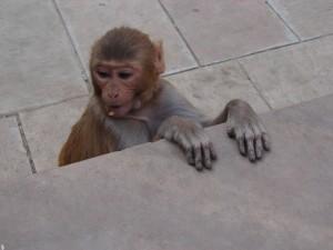 Манки Тэмпл. За руку с обезьяной.